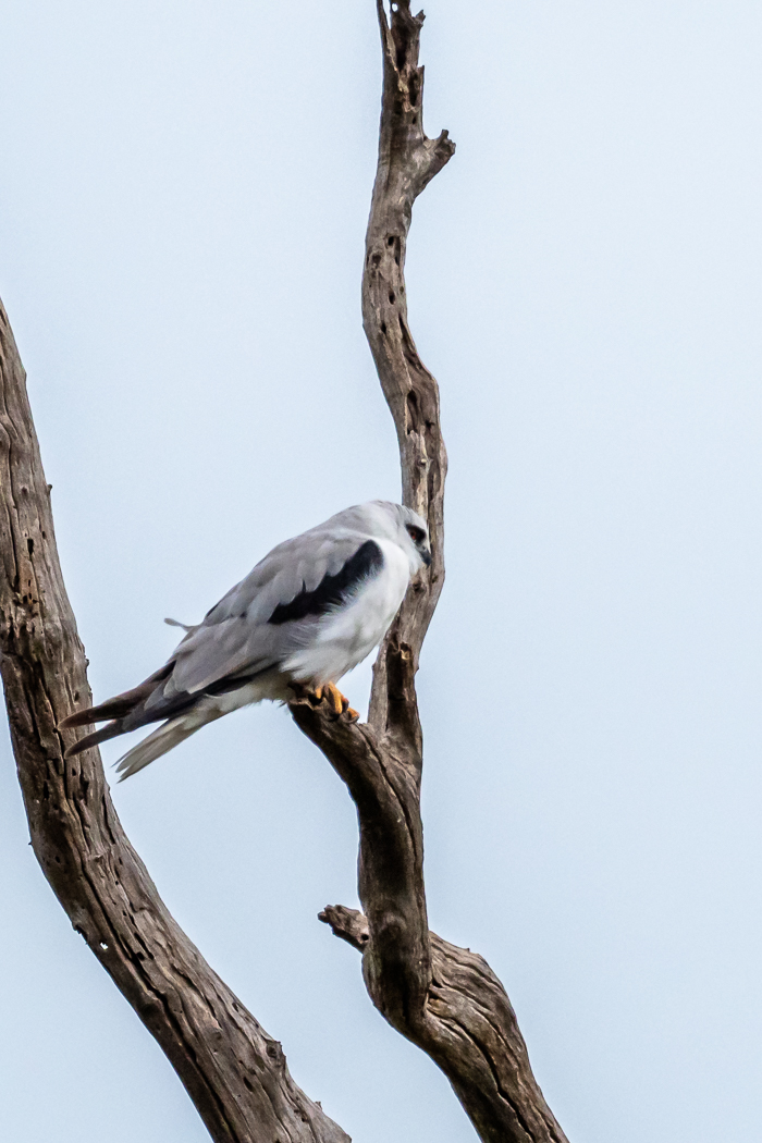 Black-shouldered Kite - Bevan Hood