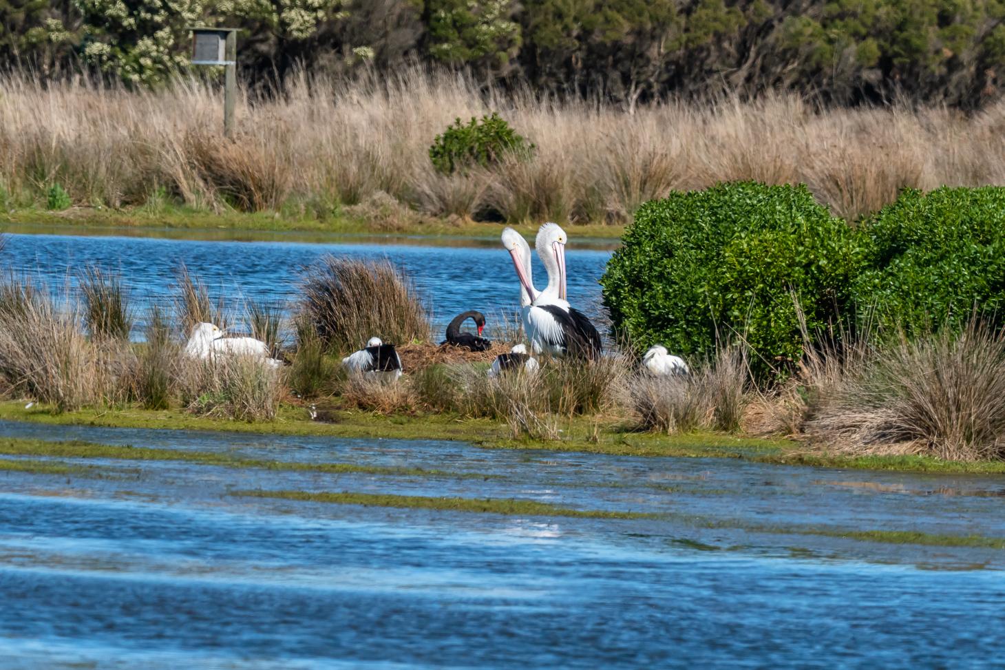 Black Swan - AustnPelican - Royal Spoonbill - Bevan Hood