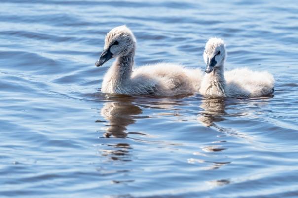 Black Swan cygnets - Bevan Hood