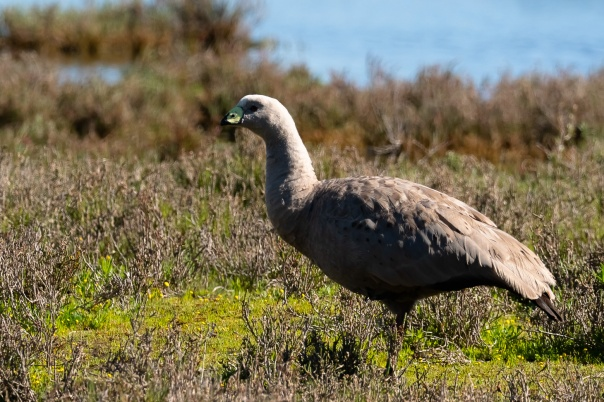 Cape Barren Goose Bevan Hood