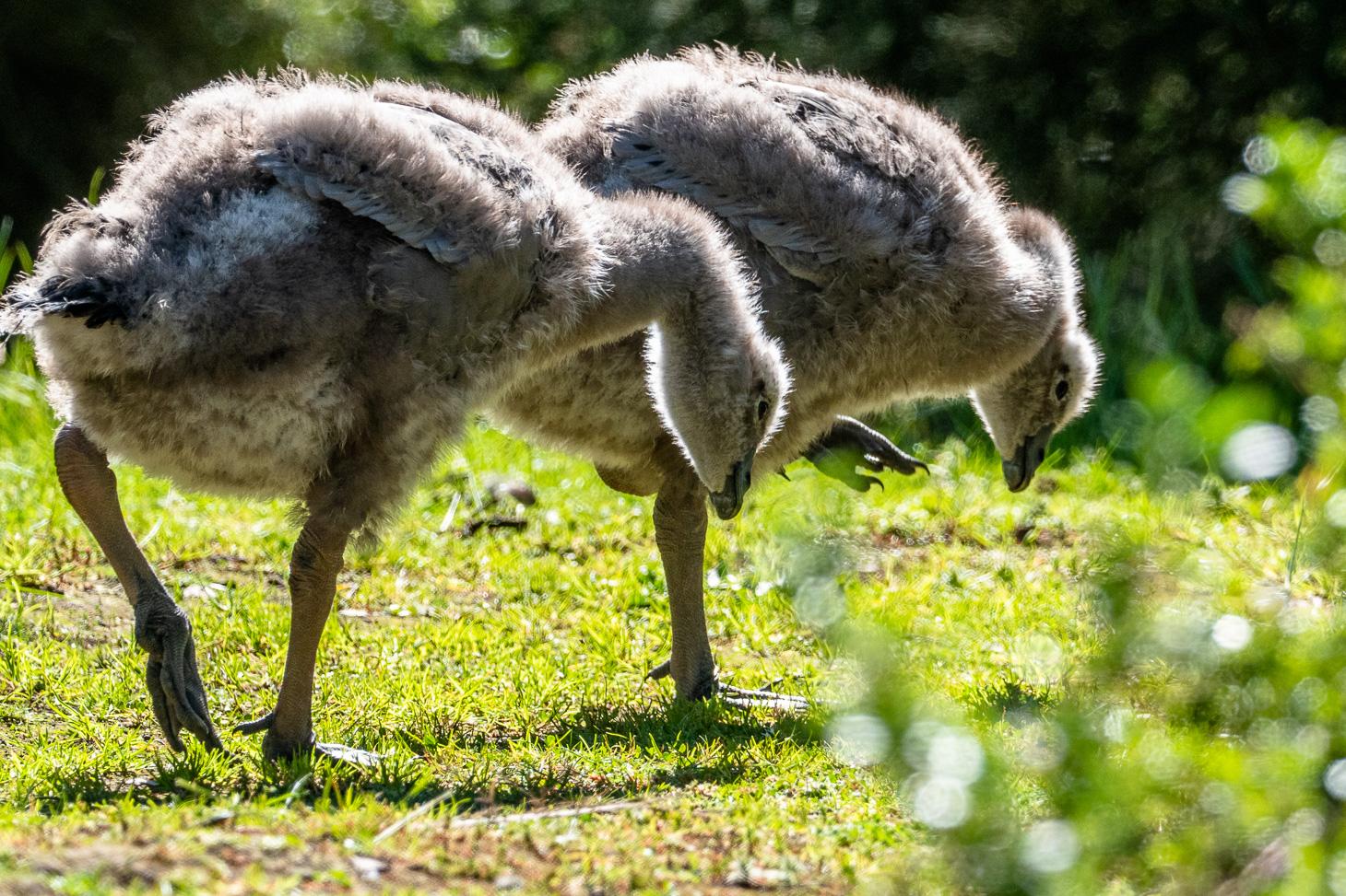 Cape Barren Goose goslings- Bevan Hood