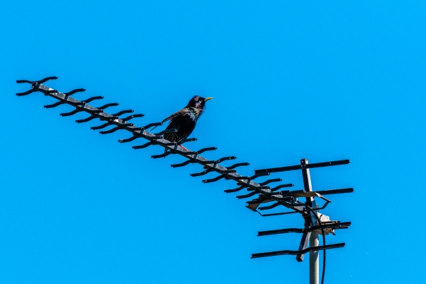 Common Starling - Bevan Hood