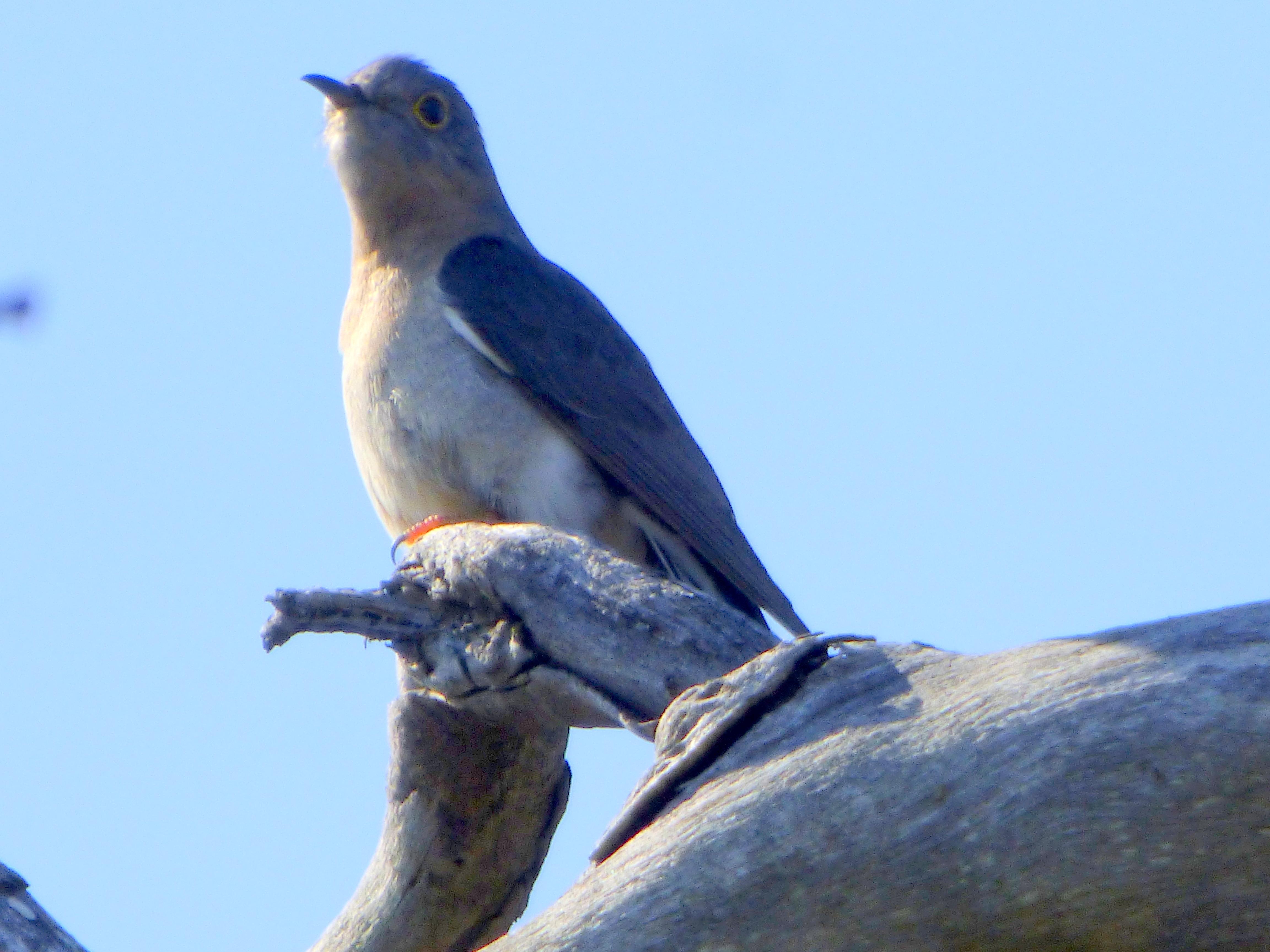 Fan-tailed Cuckoo 1 - Katmun Loh