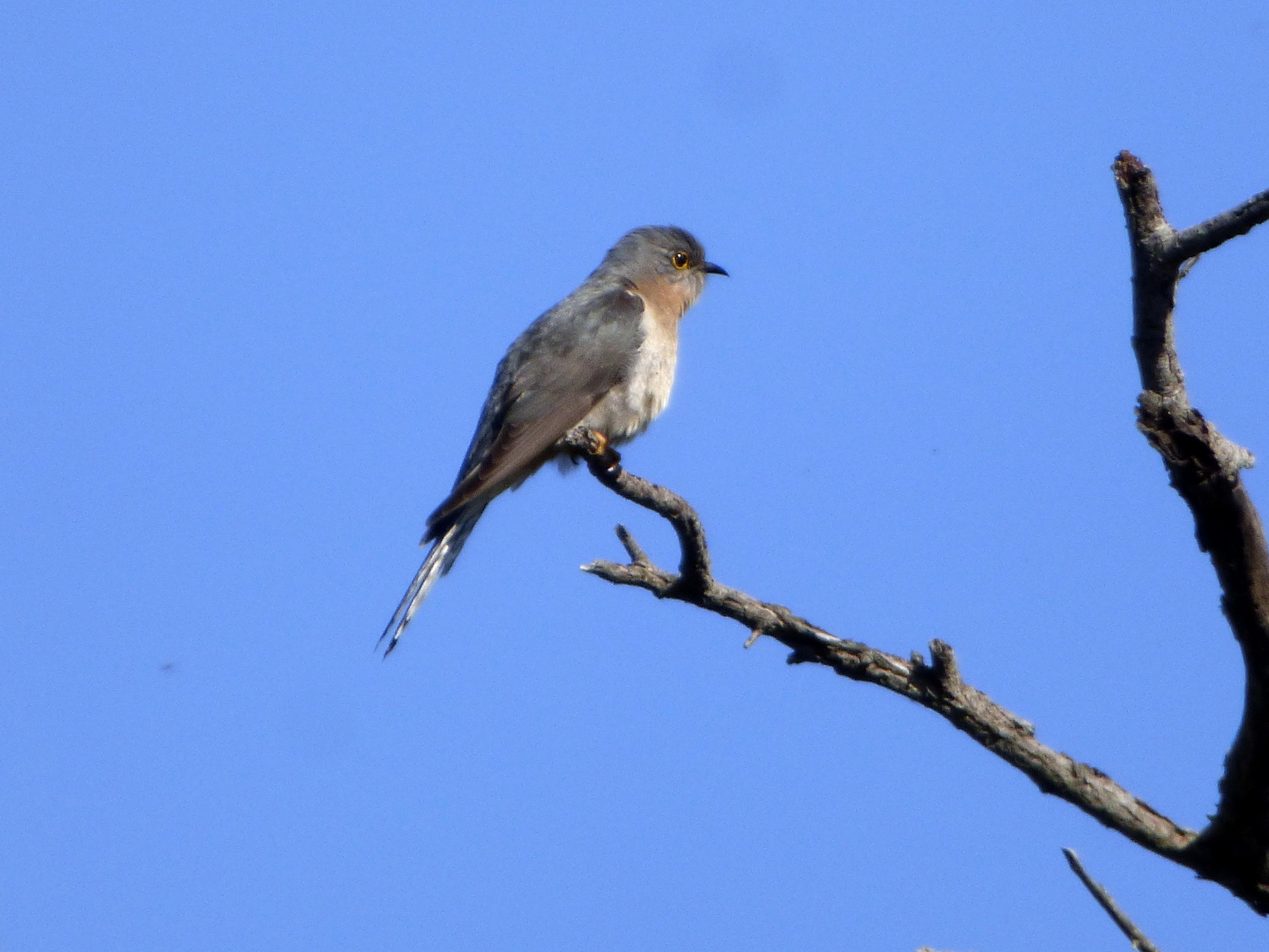 Fan-tailed Cuckoo 2 - Katmun Loh