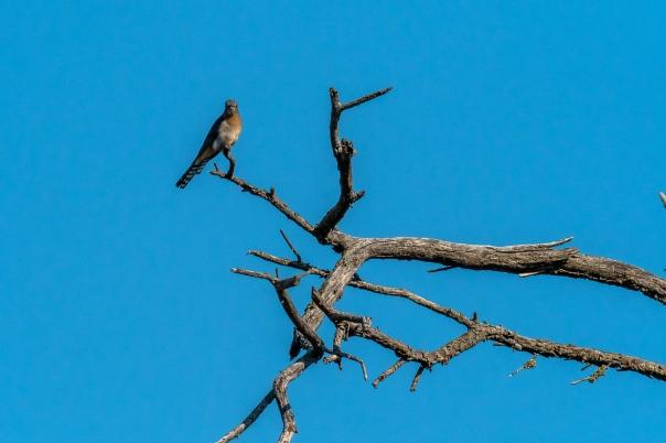 Fan-tailed Cuckoo - Bevan Hood