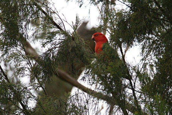 King Parrot - E Dilley