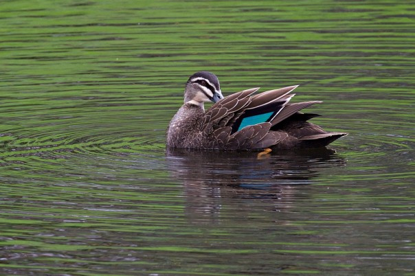 Pacific Black Duck - E Dilley