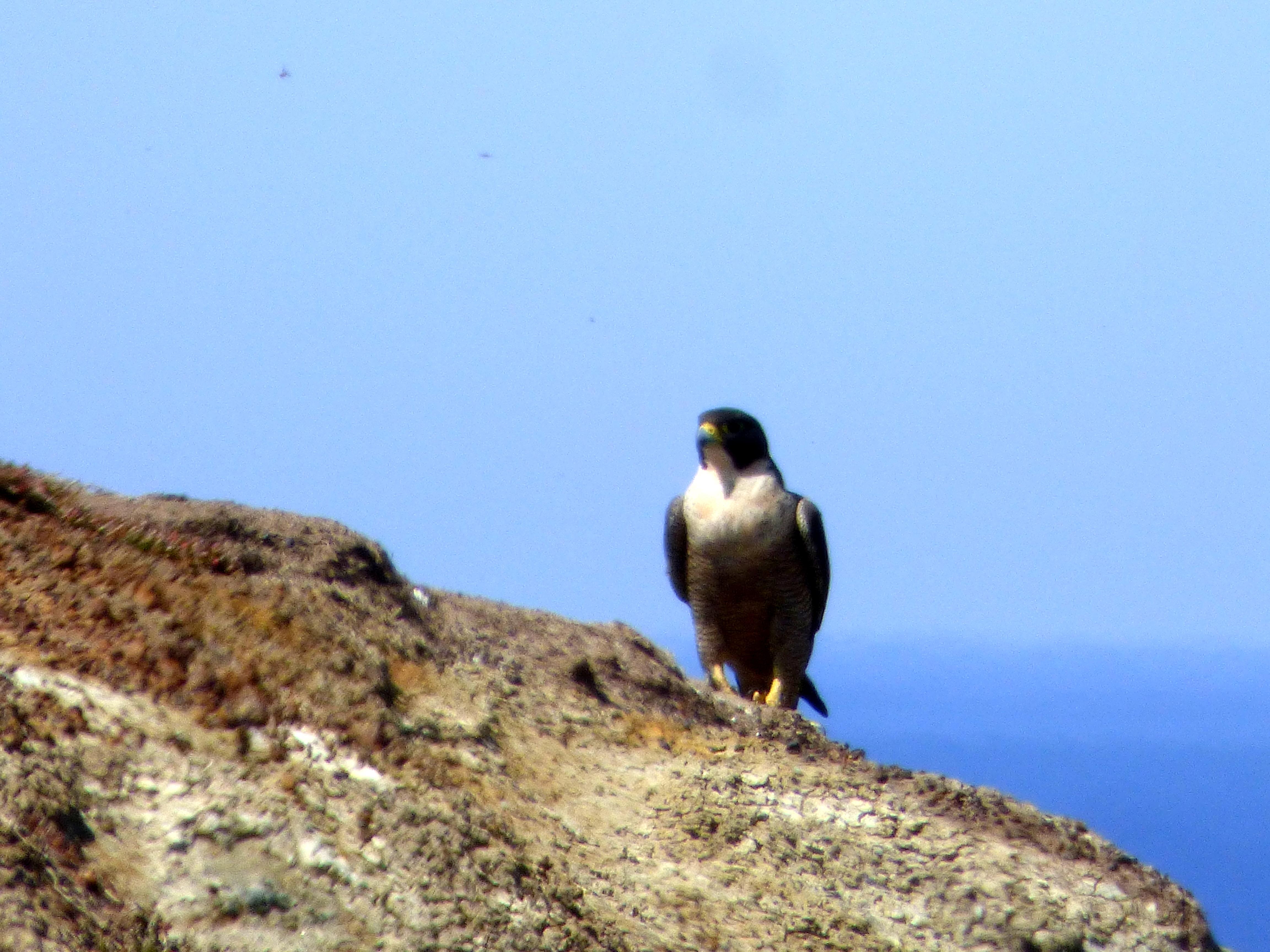 Peregrine Falcon - Katmun Loh
