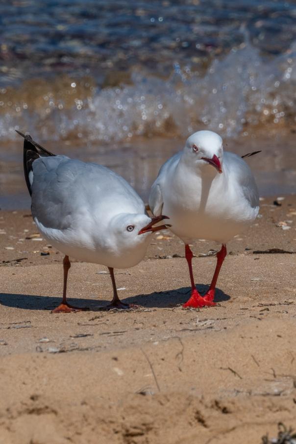 Silver Gull - Bevan Hood