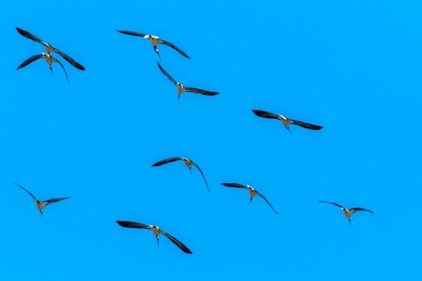 Straw-necked Ibis - Bevan Hood.jpg