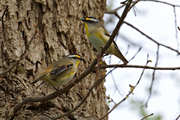 Striated Pardalotes - E Dilley