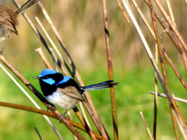 Superb Fairy-wren male - Katmun Loh