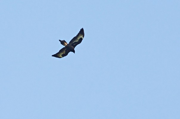 Wedge-tailed Eagle - E Dilley
