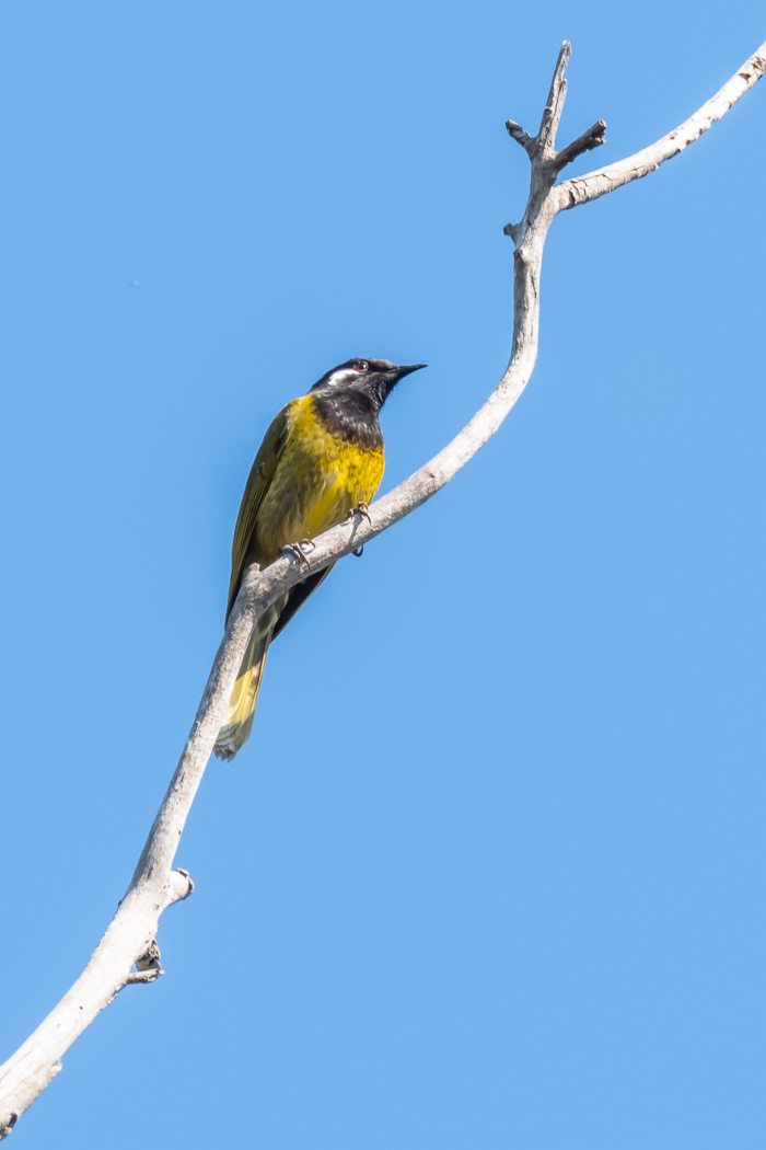 White-eared Honeyeater - Bevan Hood