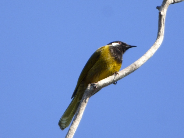 White-eared Honeyeater - Katmun Loh