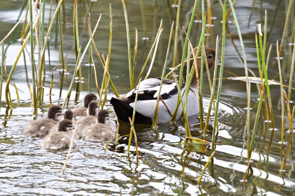 Wood Duck and chicks - E Dilley