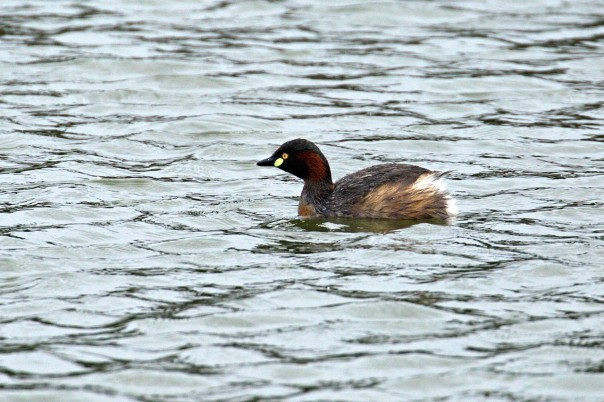 Australasian Grebe - Eleanor Dilley