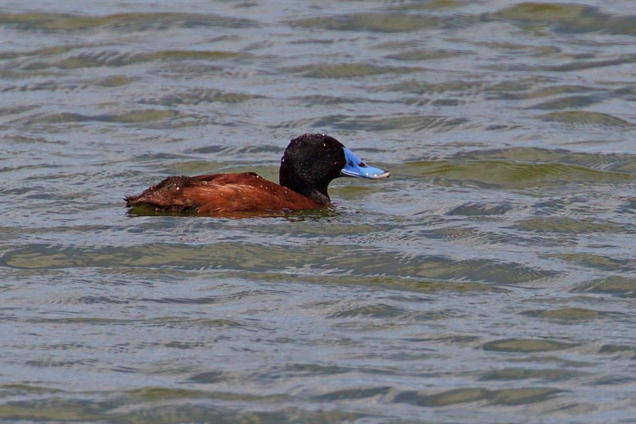 Blue-billed Duck - Eleanor Dilley