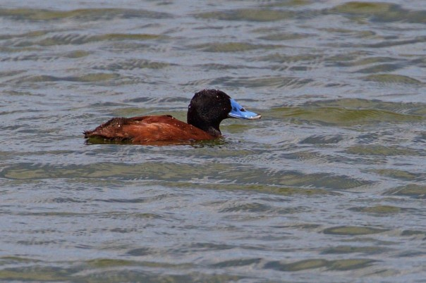 Blue-billed Duck - Eleanor Dilley