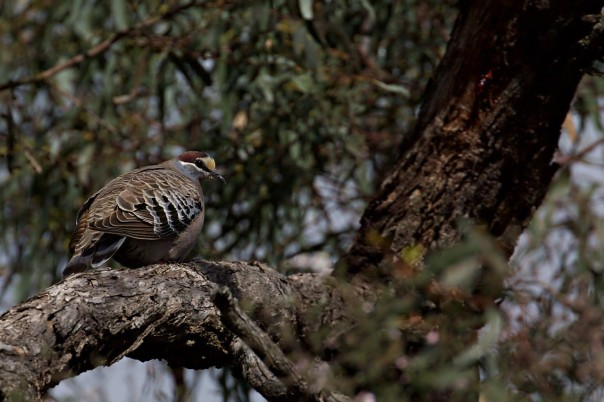 Common Bronzewing - Eleanor Dilley