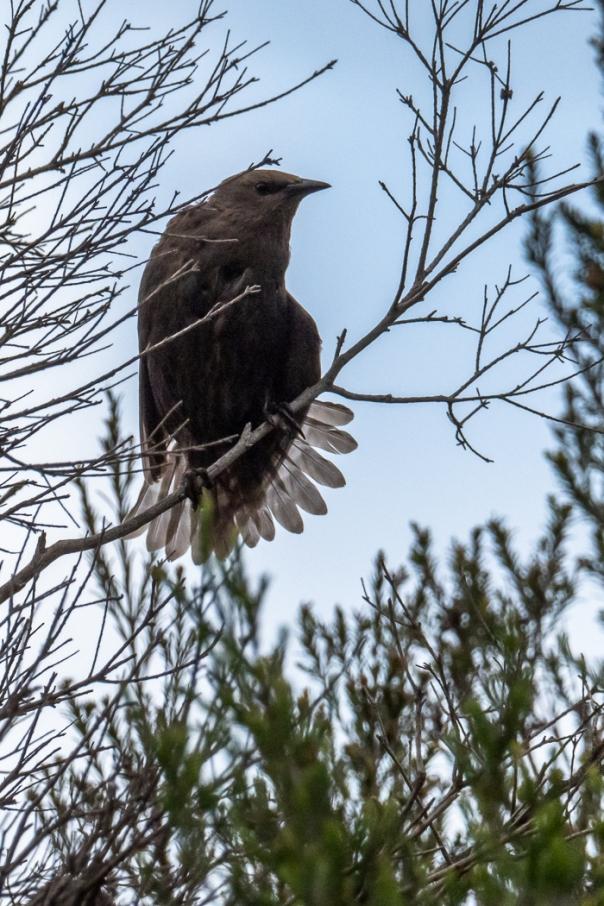Common Starling juvenile - Bevan Hood