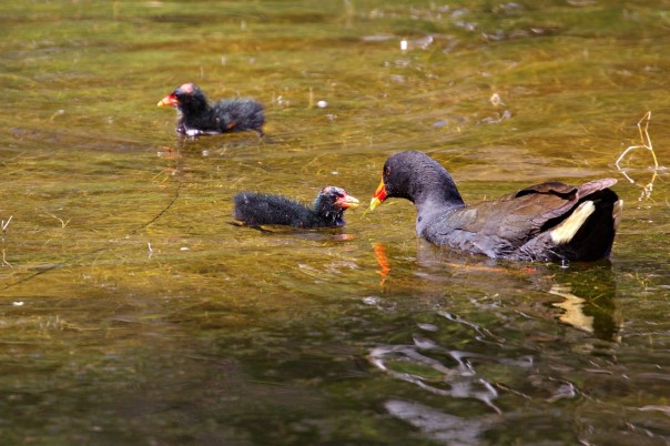 Dusky Moorhen with chicks - Eleanor Dilley