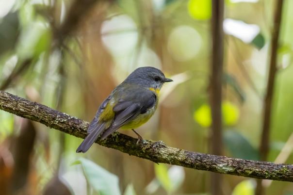 Eastern Yellow Robin - Bevan Hood