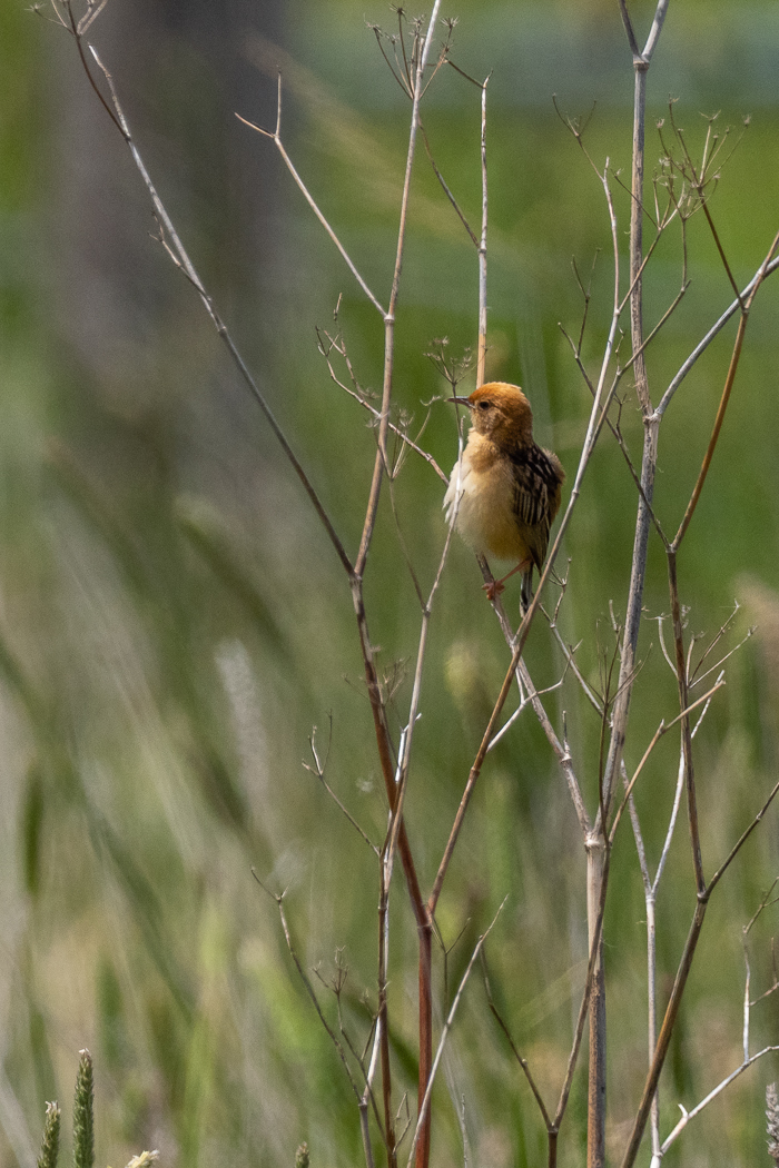 Golden-headed Cisticola - Bevan Hood