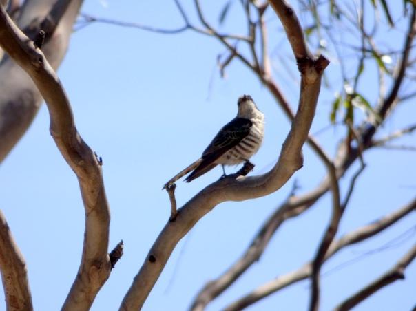 Horsefields Bronze-Cuckoo - Katmun Loh
