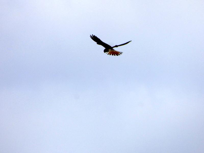 Hovering Nankeen Kestrel - Katmun Loh