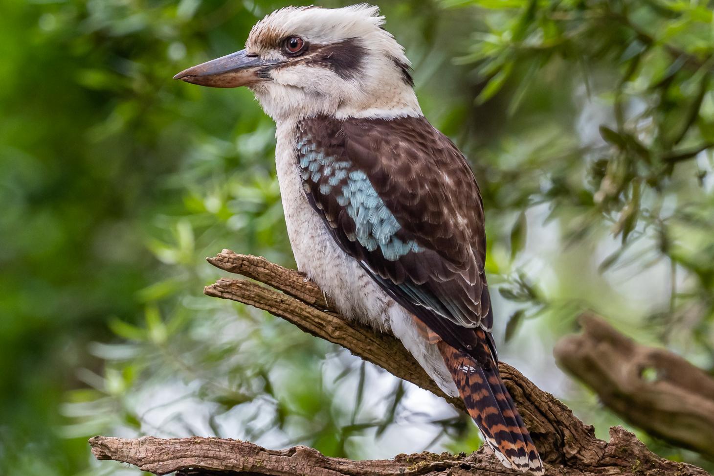Laughing Kookaburra - Bevan Hood