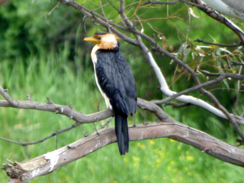 Little Pied Cormorant - Katmun Loh