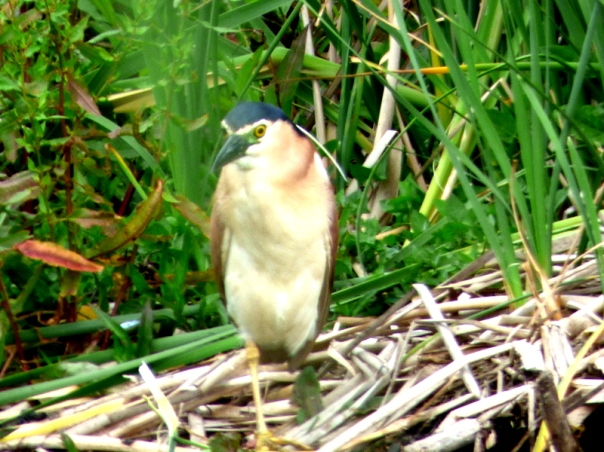 Nankeen Night Heron - Katmun Loh