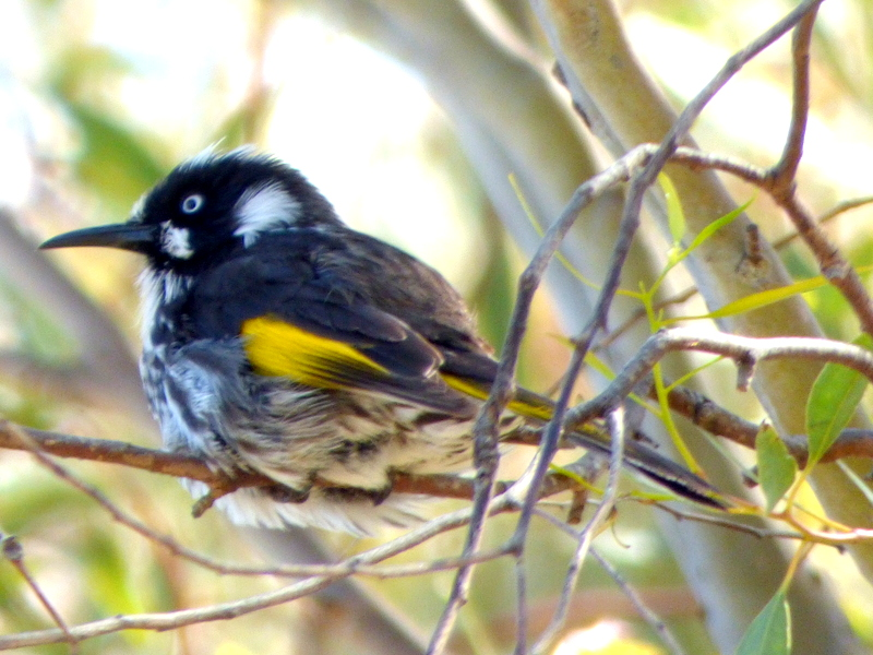New Holland Honeyeater - Katmun Loh.JPG