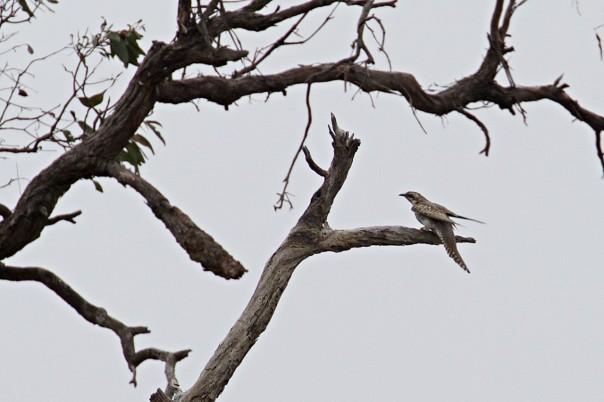 Pallid Cuckoo - Eleanor Dilley