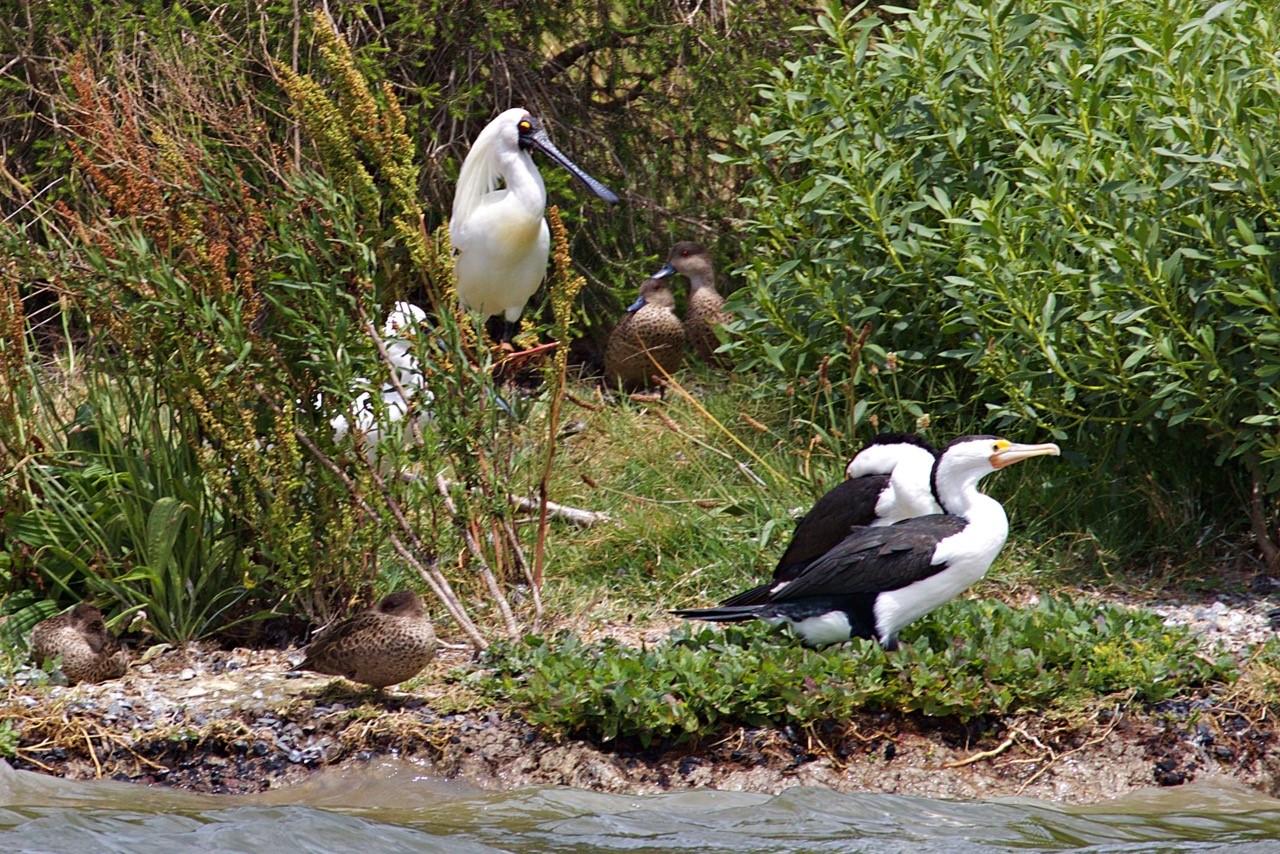 Pied Cormorants Royal Spoonbill - Eleanor Dilley