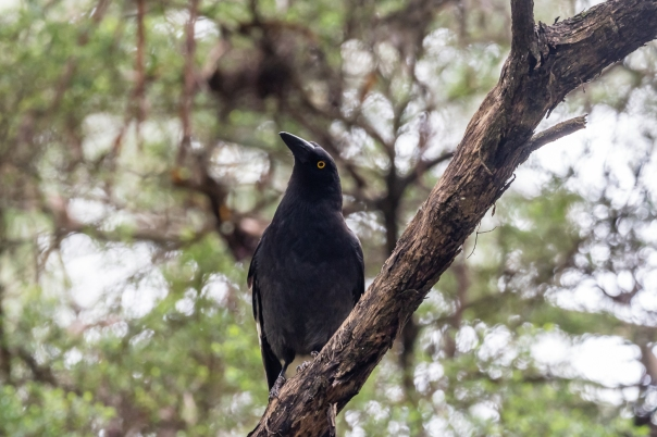 Pied Currawong - Bevan Hood