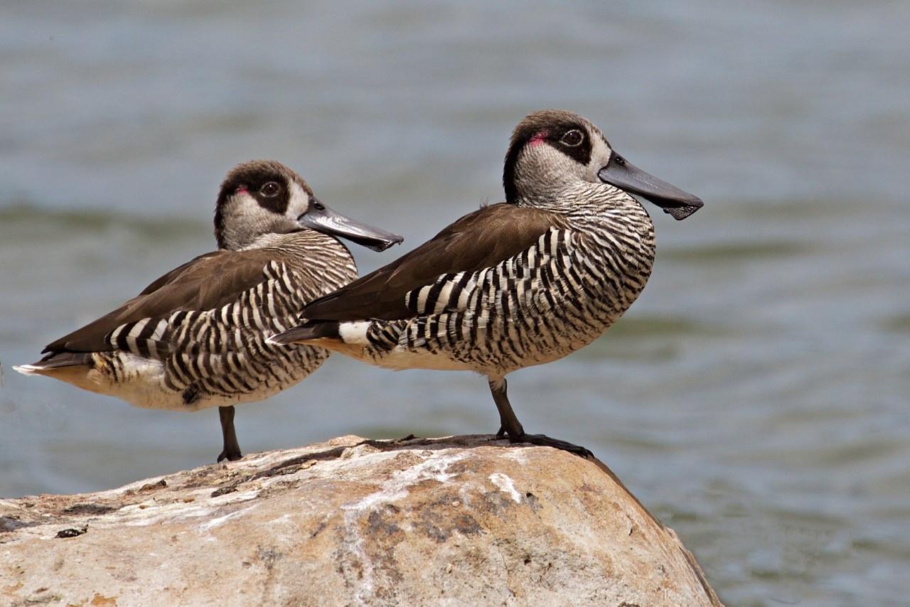 Pink-eared Ducks - Eleanor Dilley