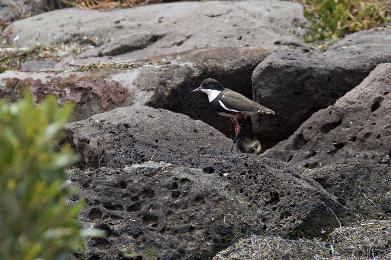 Red-kneed Dotterel - Eleanor Dilley