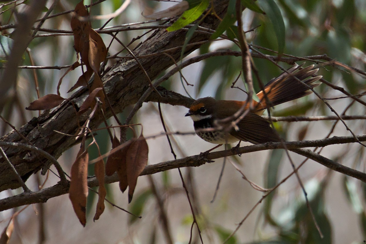 Rufous Fantail - Eleanor Dilley