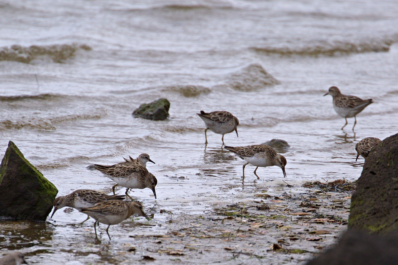 Sharp-tailed Sandpipers Red-necked Stint - Eleanor Dilley