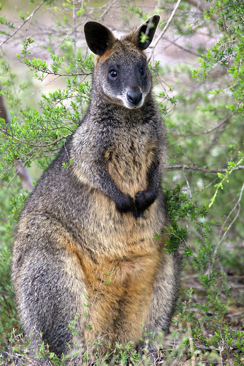 Swamp Wallaby - Eleanor Dilley