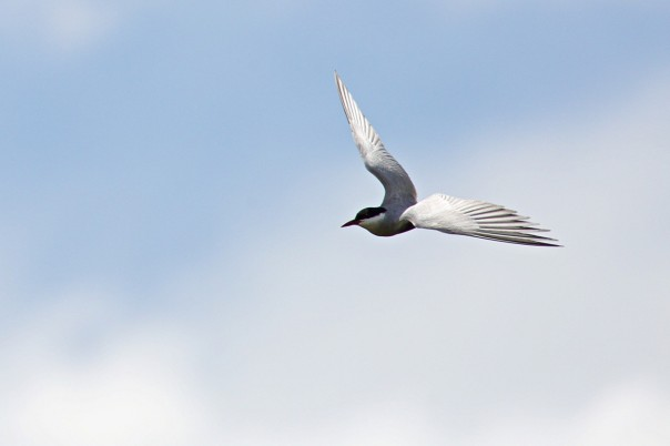 Whiskered Tern - Eleanor Dilley