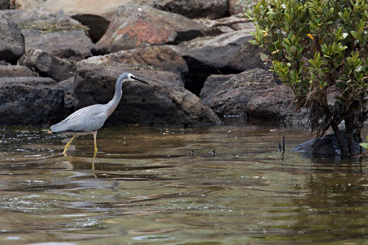White-faced Heron - Eleanor Dilley