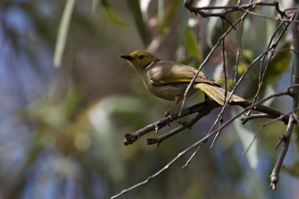 White-plumed Honeyeater - Eleanor Dilley