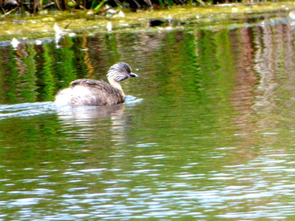 Hoary-headed Grebe - Katmun Loh