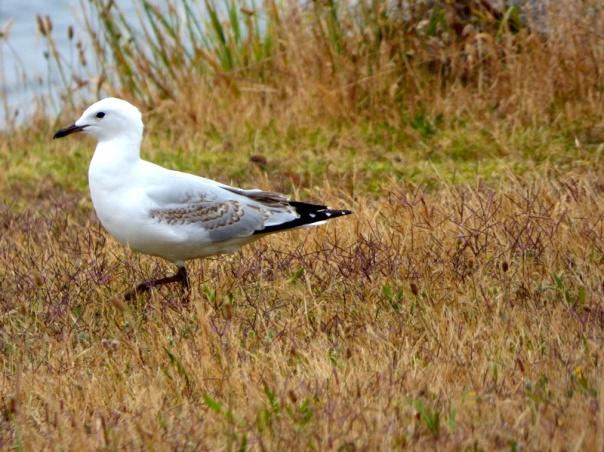 Immature Silver Gull - Katmun Loh