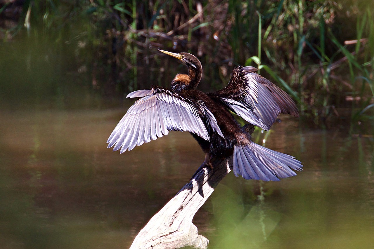 Australasian Darter, male - Eleanor Dilley