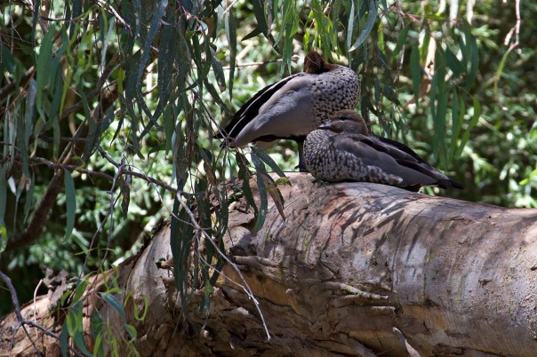 Australian Wood Ducks - Eleanor Dilley
