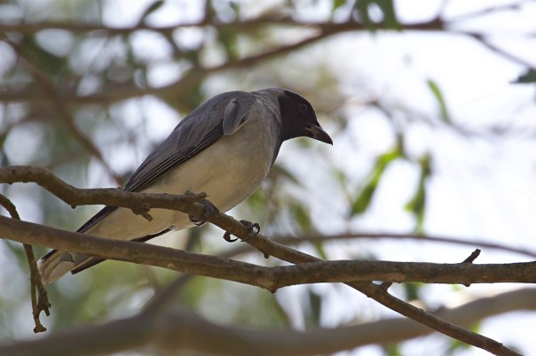 Black-faced Cuckoo-shrike - Eleanor Dilley